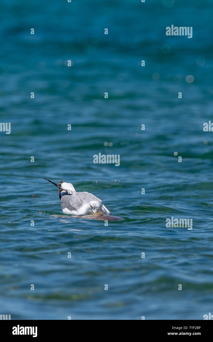 Herring gull (Larus argentatus) feeding on a dead fish (believed to be a common carp (Cyprinus carpio)) in Lake Michigan, USA. Stock Photo