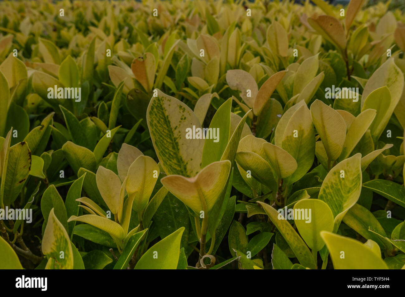 Beautiful yellow green garden plant, useful for building hedges. But also as a background to an article for gardening, Oblique view from the top. Stock Photo