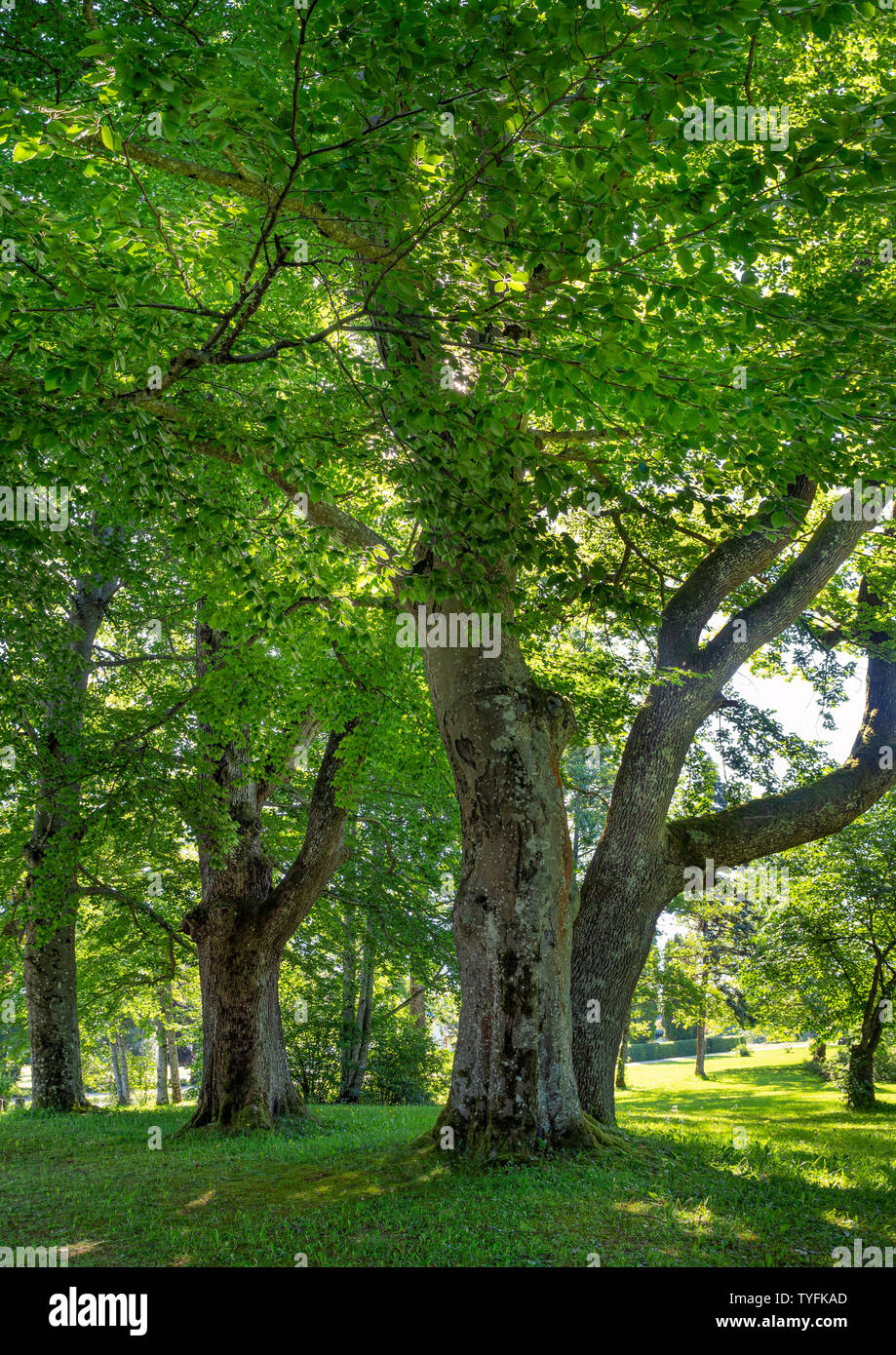 Large-leaved Linden (Tilia platyphyllos) in the park of Hoehenried, Bavaria, Germany, Europe Stock Photo