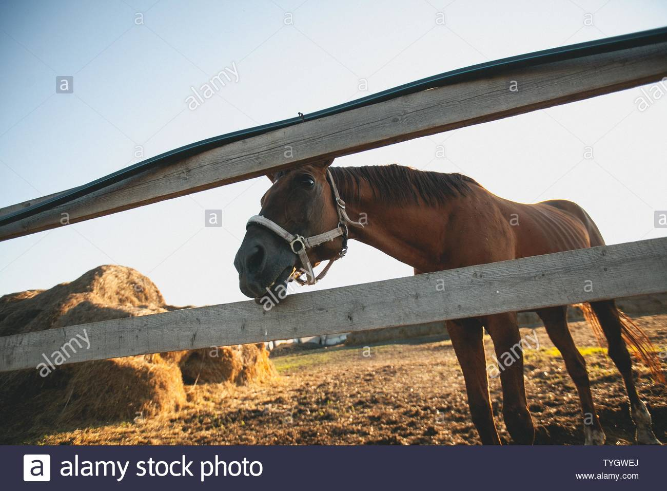 Picture of: Brown Horse In A Fenced Pen On The Farm Over The Fence Looking Into The Camera Young Curious Mare On A Sunny Day Near Bales Of Hay Stock Photo 257912106 Alamy