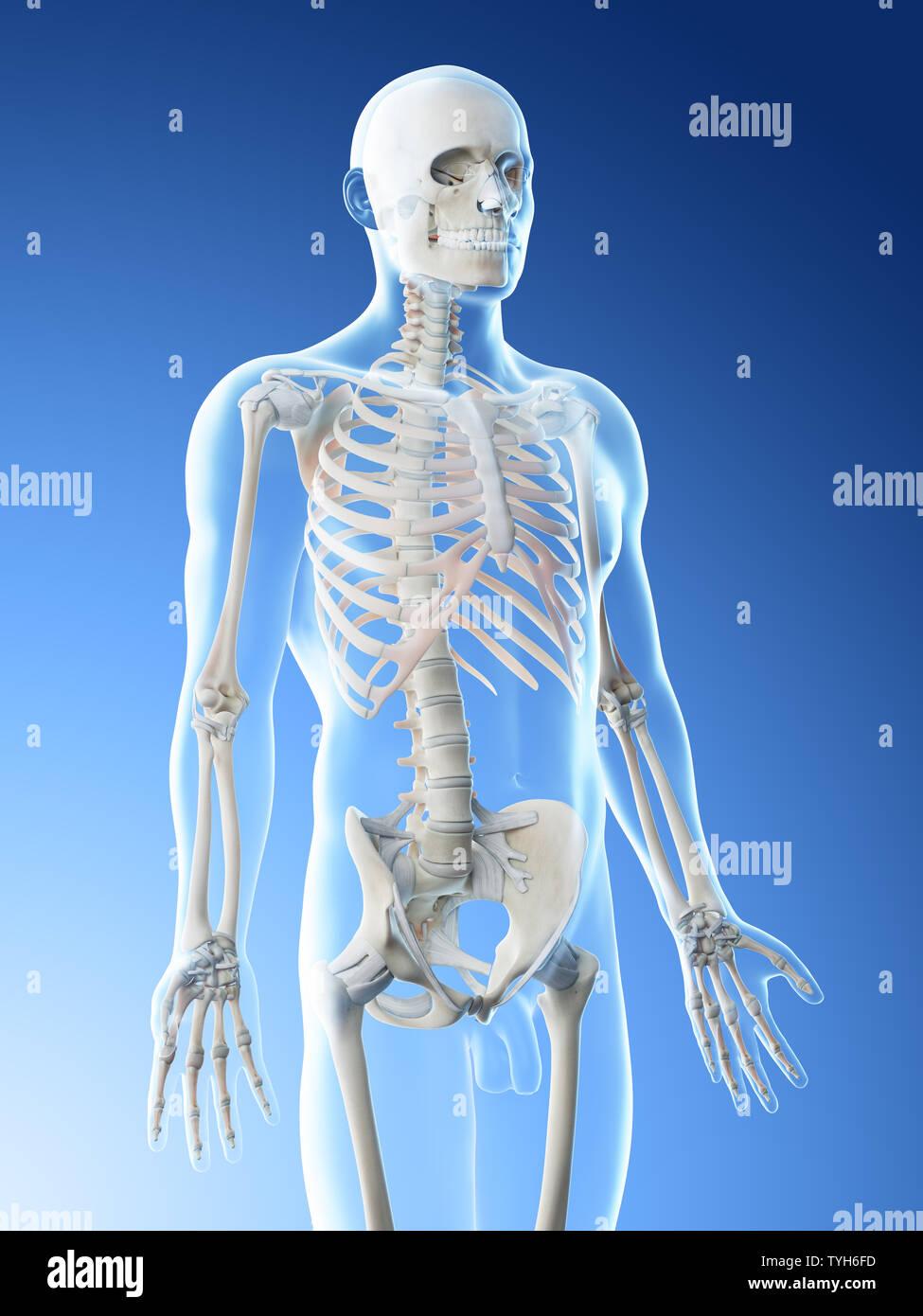 3d rendered illustration of a mans skeleton of the upper