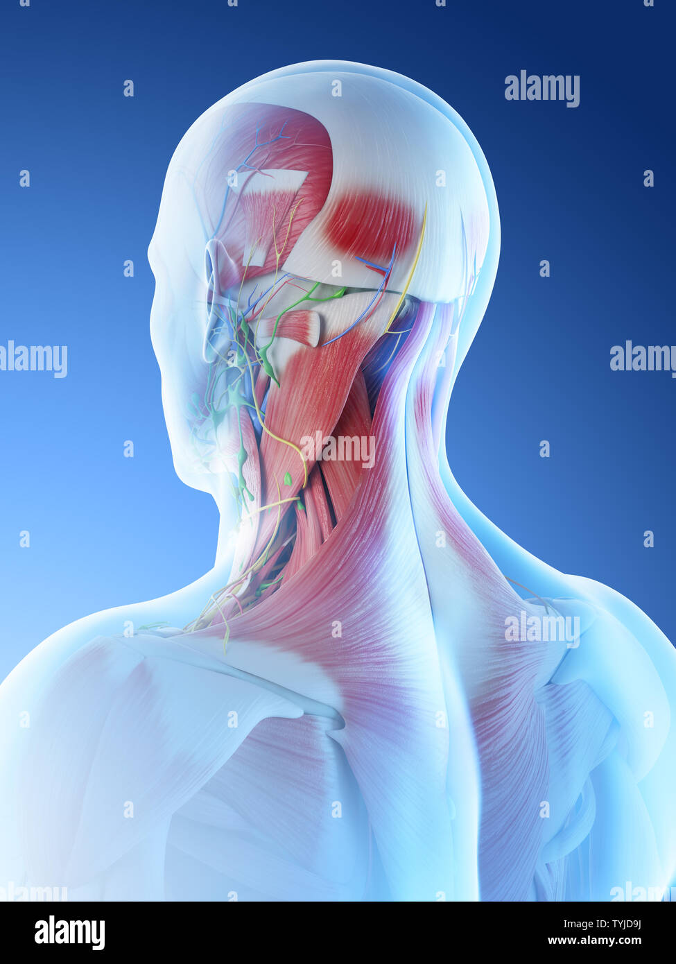 3d rendered illustration of a mans muscular anatomy of the