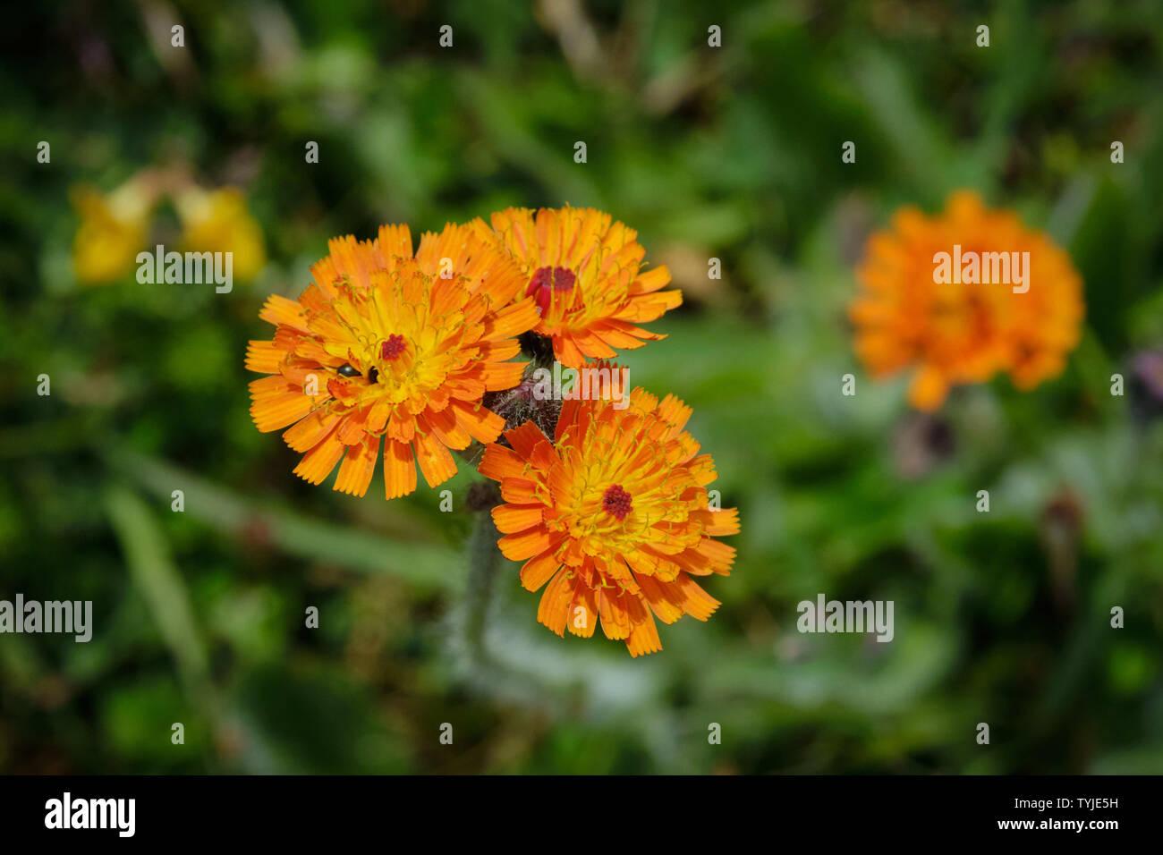 Orange Hawkweed (Pilosella Aurantica) Growing In A Former Quarry Site - Stock Image