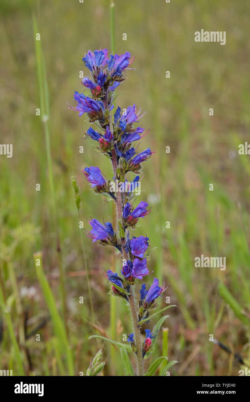 Vipers Bugloss (Echium Vulgaris) - Stock Image