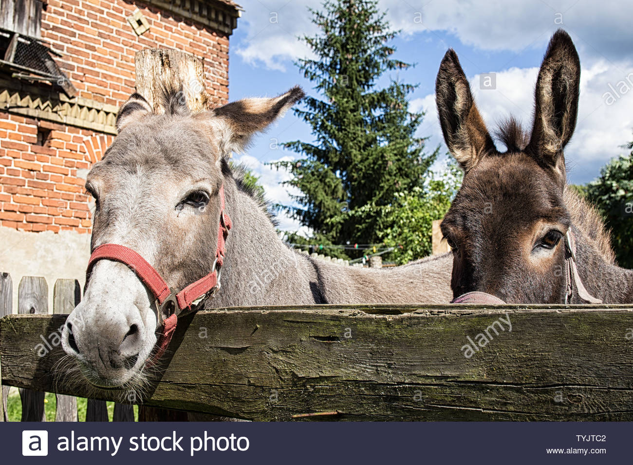 Portrait of a donkey couple at a barnyard Stock Photo