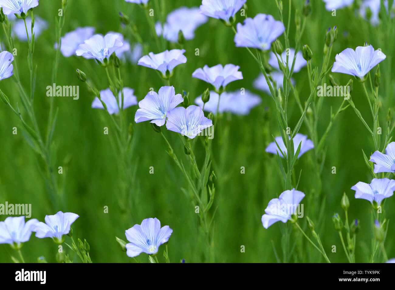 Lein, Linum, perenne - Stock Image