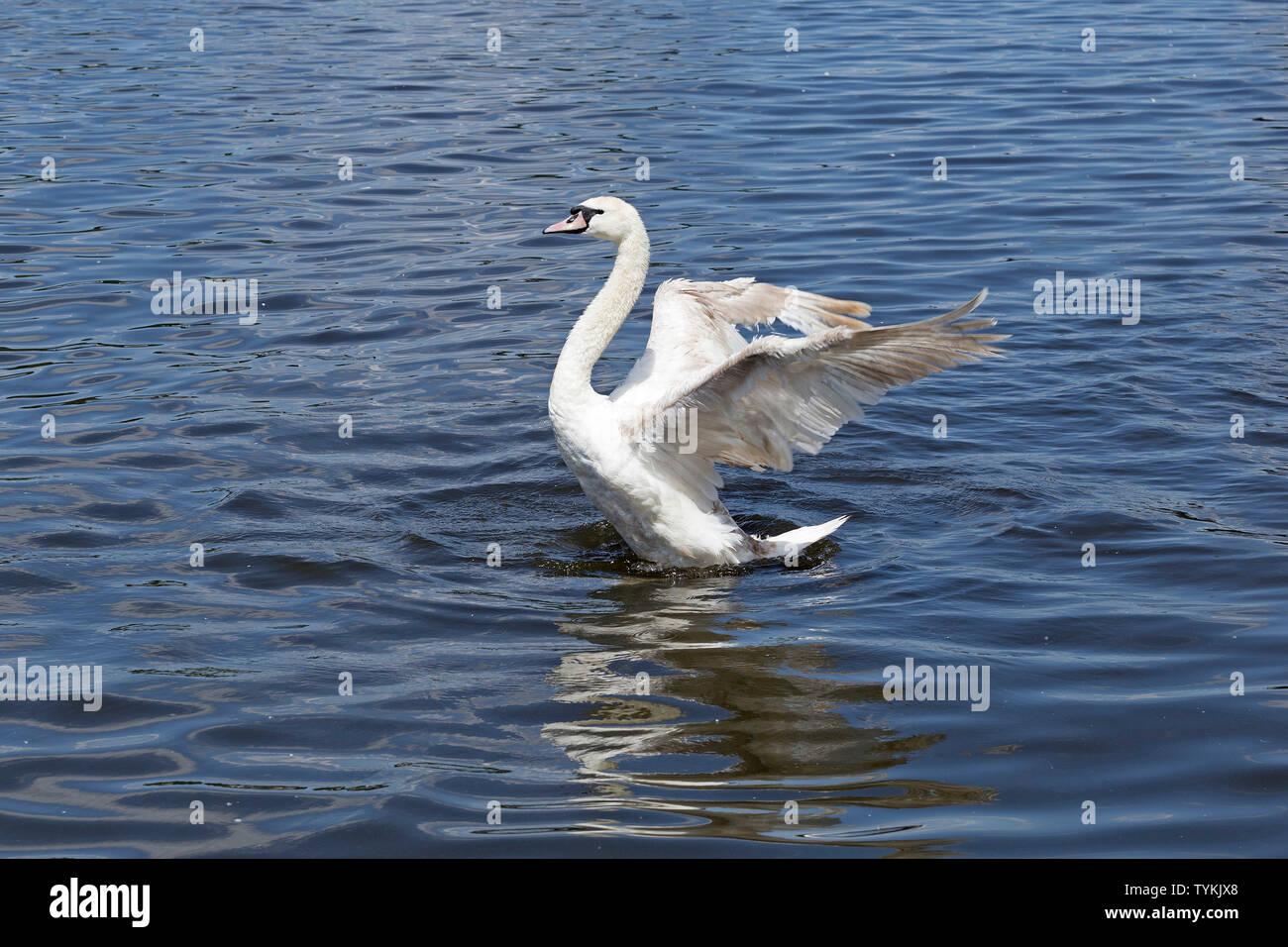 mute swan (Cygnus olor) spreading its wings, Inner Alster, Hamburg, Germany Stock Photo