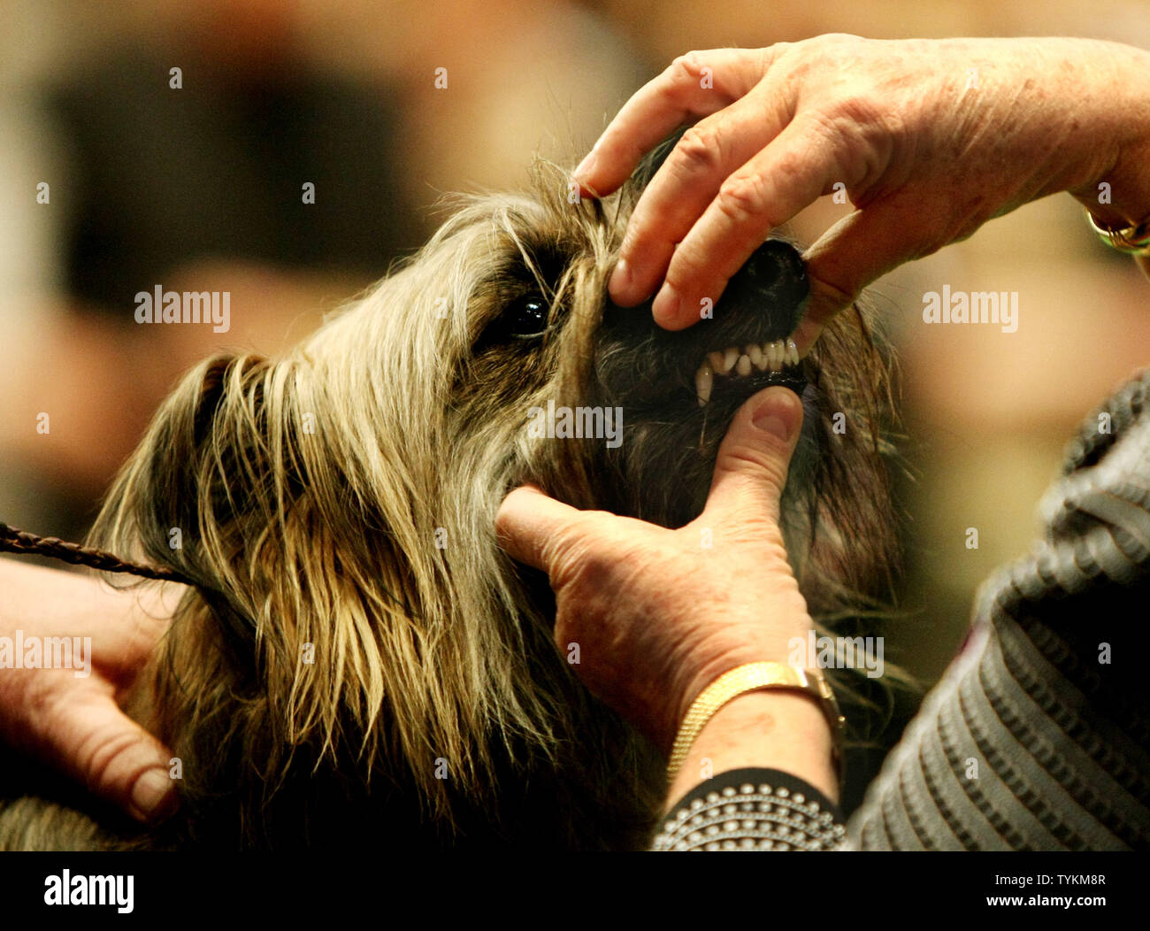 A judge inspects the teeth of a Pyrenean Shepherd as the breed is shown for the first time at the Westminster Kennel Club Dog Show held at Madison Square Garden on February 15, 2010 in New York City.  The annual dog show, which was first held in 1877, features competition among 150 breeds and 2,500 dogs.     UPI /Monika Graff - Stock Image