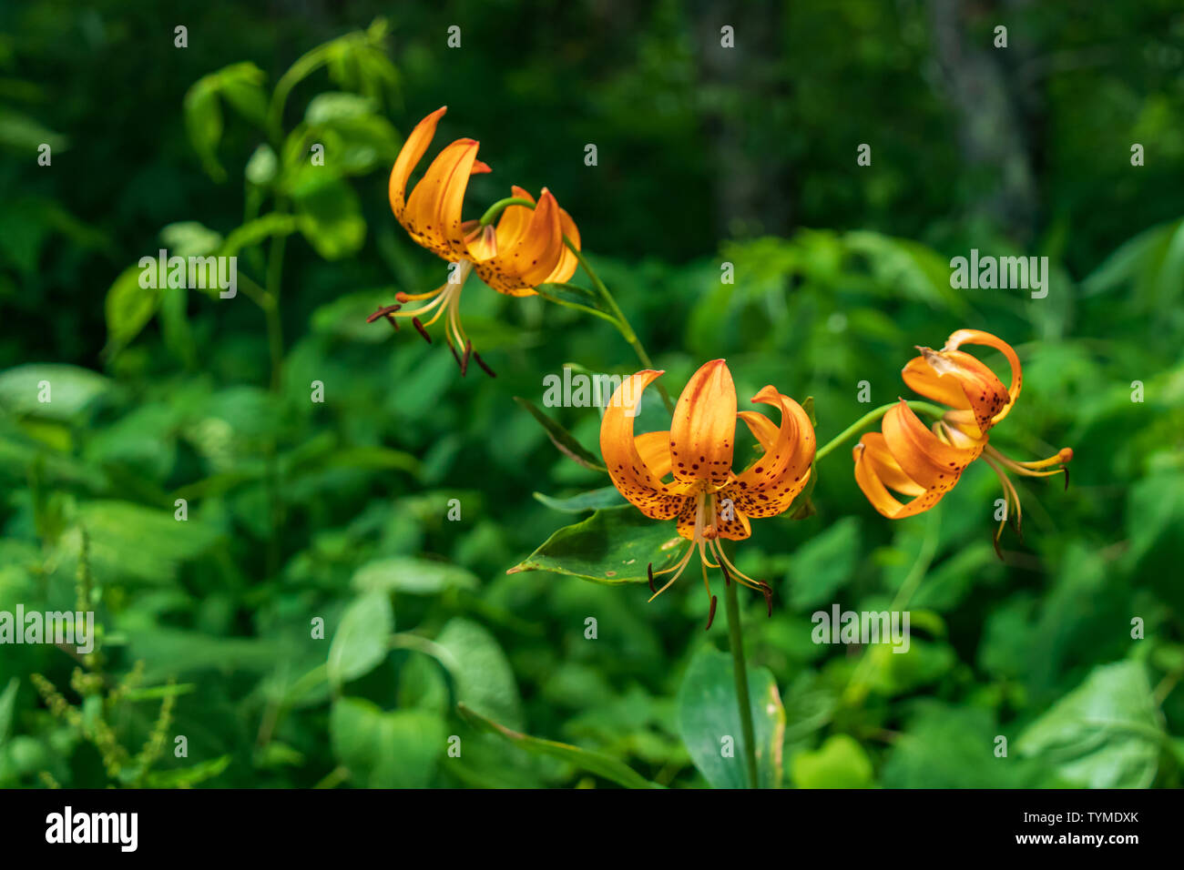 Turk's Cap Lily close-up Stock Photo
