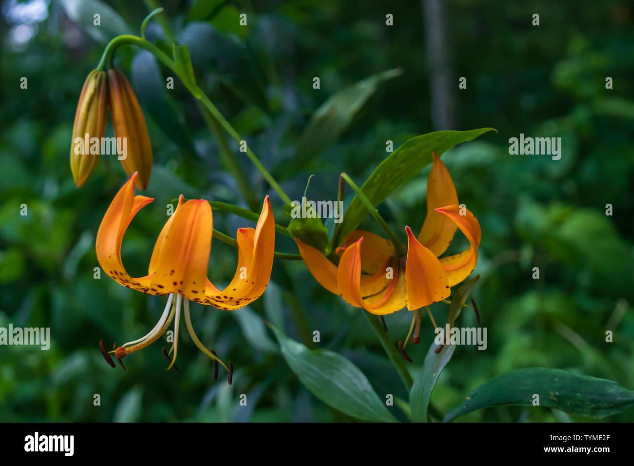 Turk's Cap Lily close-up Stock Photo