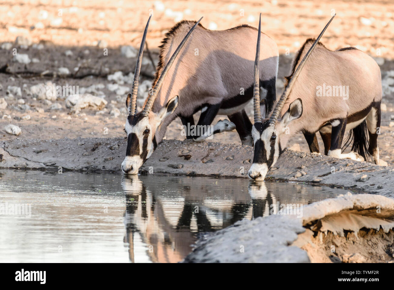 Gemsbok, a large oryx antelope, and the national symbol of Namibia, hunted mainly for their spectacular horns. - Stock Image