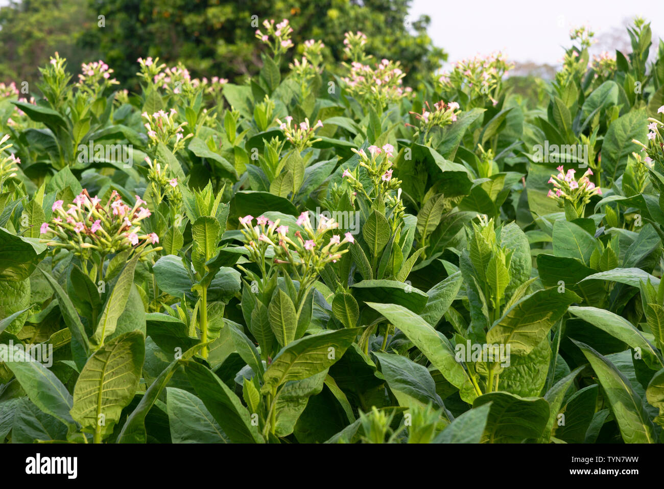 Field of tobacco plants growing in the countryside surrounding the rural village of San Juan y Martinez, Pinar del Rio Province, Cuba - Stock Image
