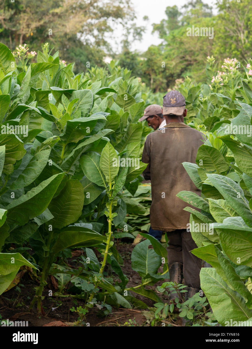 Two farm workers picking tobacco leaves at the rural village of San Juan y Martinez, Pinar del Rio Province, Cuba, Caribbean - Stock Image