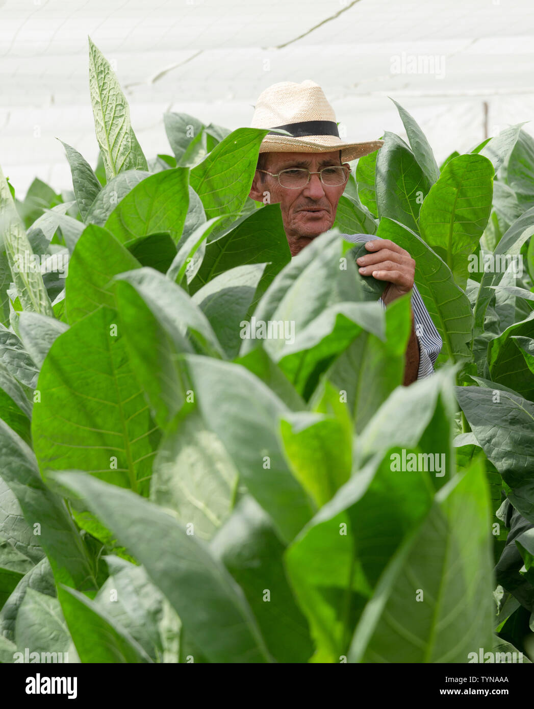 Farmer inspects his tobacco leaves growing under cover near the village of San Juan y Martinez, Pinar del Rio Province, Cuba - Stock Image