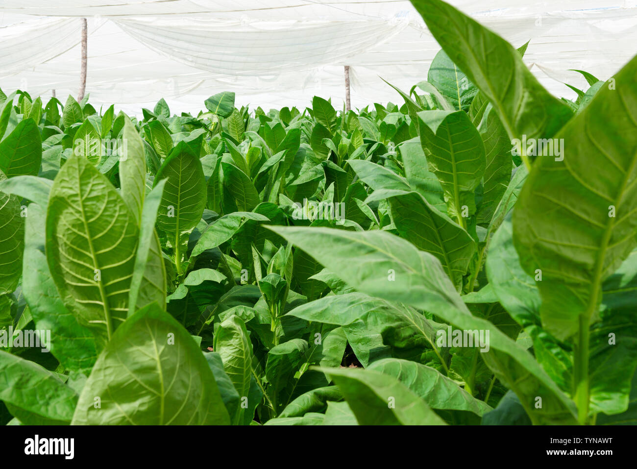 Tobacco leaves growing under cover on farm in the countryside surrounding the village of San Juan y Martinez, Pinar del Rio Province, Cuba - Stock Image