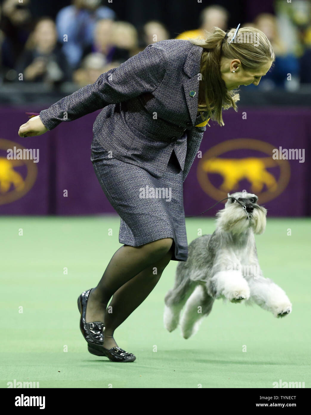 A Standard Schnauzer named competes in the Working Group at the 137th Annual Westminster Kennel Club Dog Show at Madison Square Garden in New York City on February 12, 2013.      UPI/John Angelillo Stock Photo