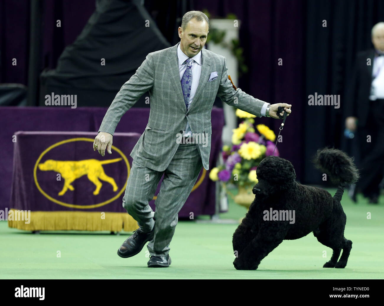 Matisse, a Portuguese Water Dog, competes and wins the Working Group at the 137th Annual Westminster Kennel Club Dog Show at Madison Square Garden in New York City on February 12, 2013.      UPI/John Angelillo Stock Photo