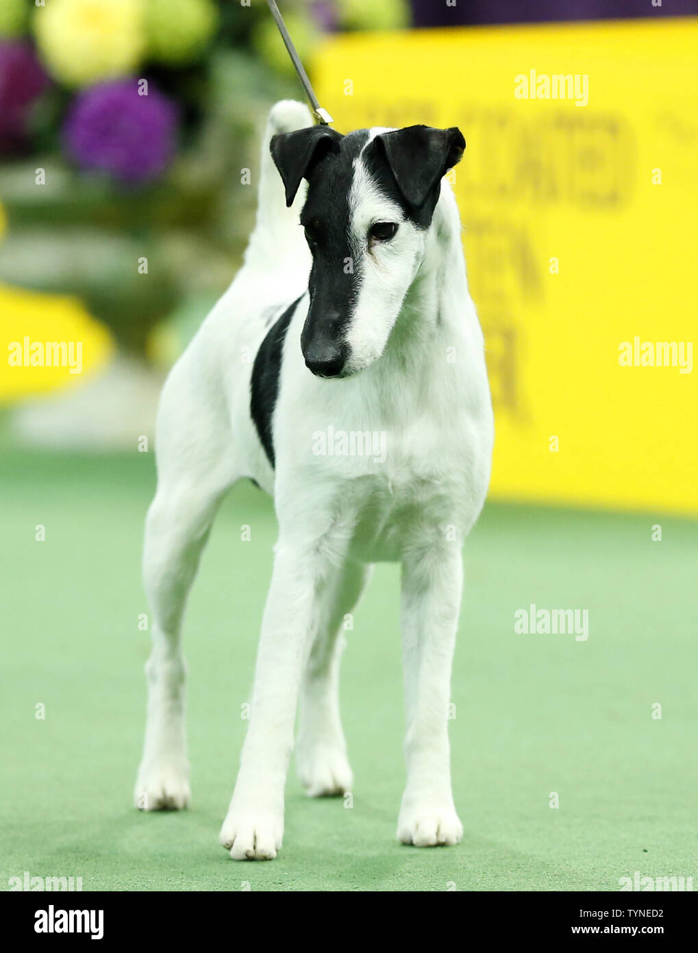 A Smooth Fox Terrier named Adam competes and wins the Terrier Group at the 137th Annual Westminster Kennel Club Dog Show at Madison Square Garden in New York City on February 12, 2013.      UPI/John Angelillo Stock Photo
