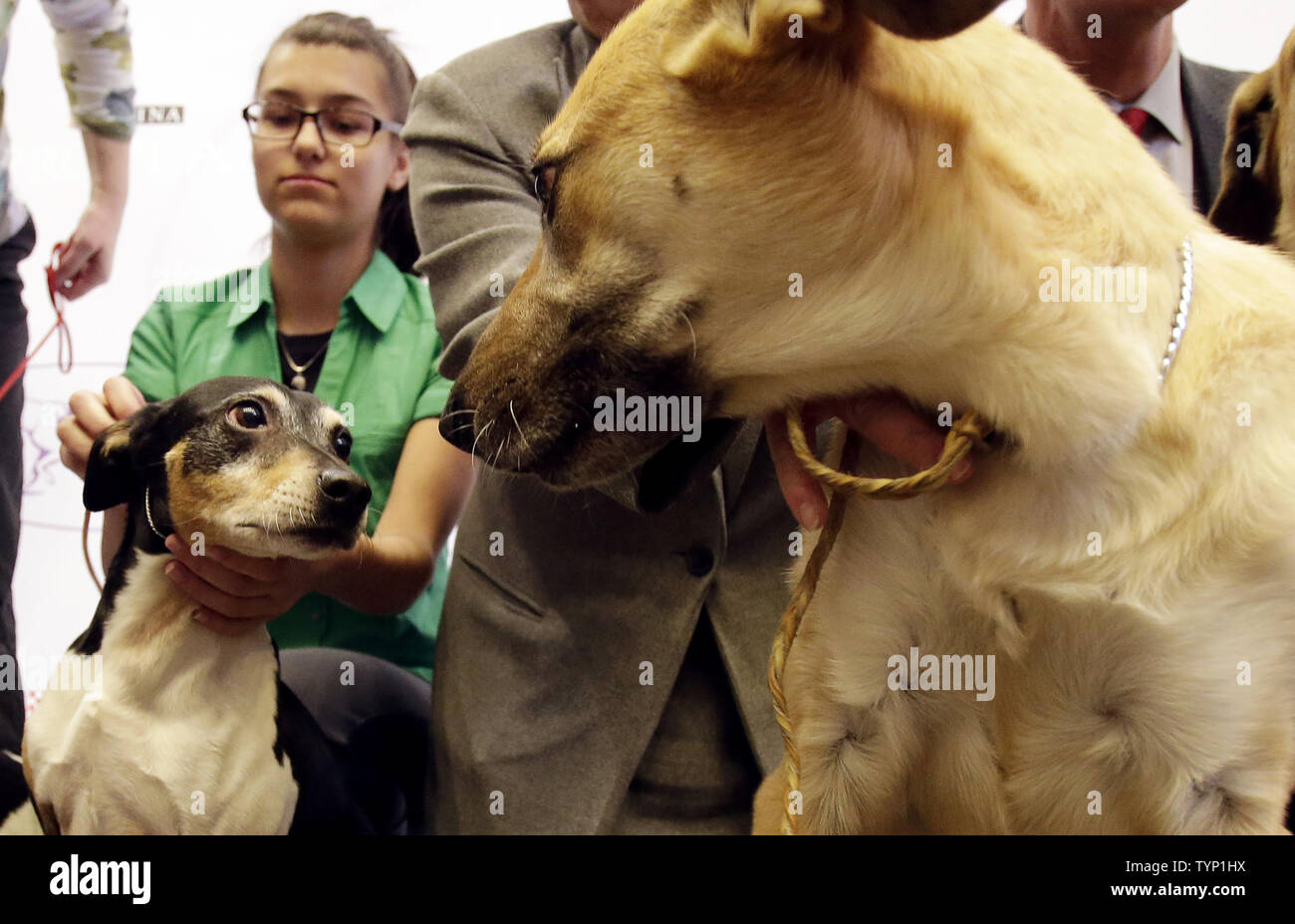 A Chinook and a Rat Terrier meet on the stage at a press conference announcing three new breeds that will be competing at the138th Annual Westminster Kennel Club Dog Show in New York City on January 15, 2014. The Portuguese Podengo Pequeno, Rat Terrier and Chinook are added this year as 3 new breed additions to the competition at Madison Square Garden.      UPI/John Angelillo Stock Photo