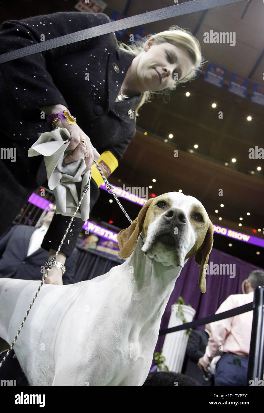 A Pointer named Miss D'Arcy waits too compete in the sporting group at the 138th Annual Westminster Kennel Club Dog Show at Madison Square Garden in New York City on February 11, 2014.   UPI/John Angelillo Stock Photo