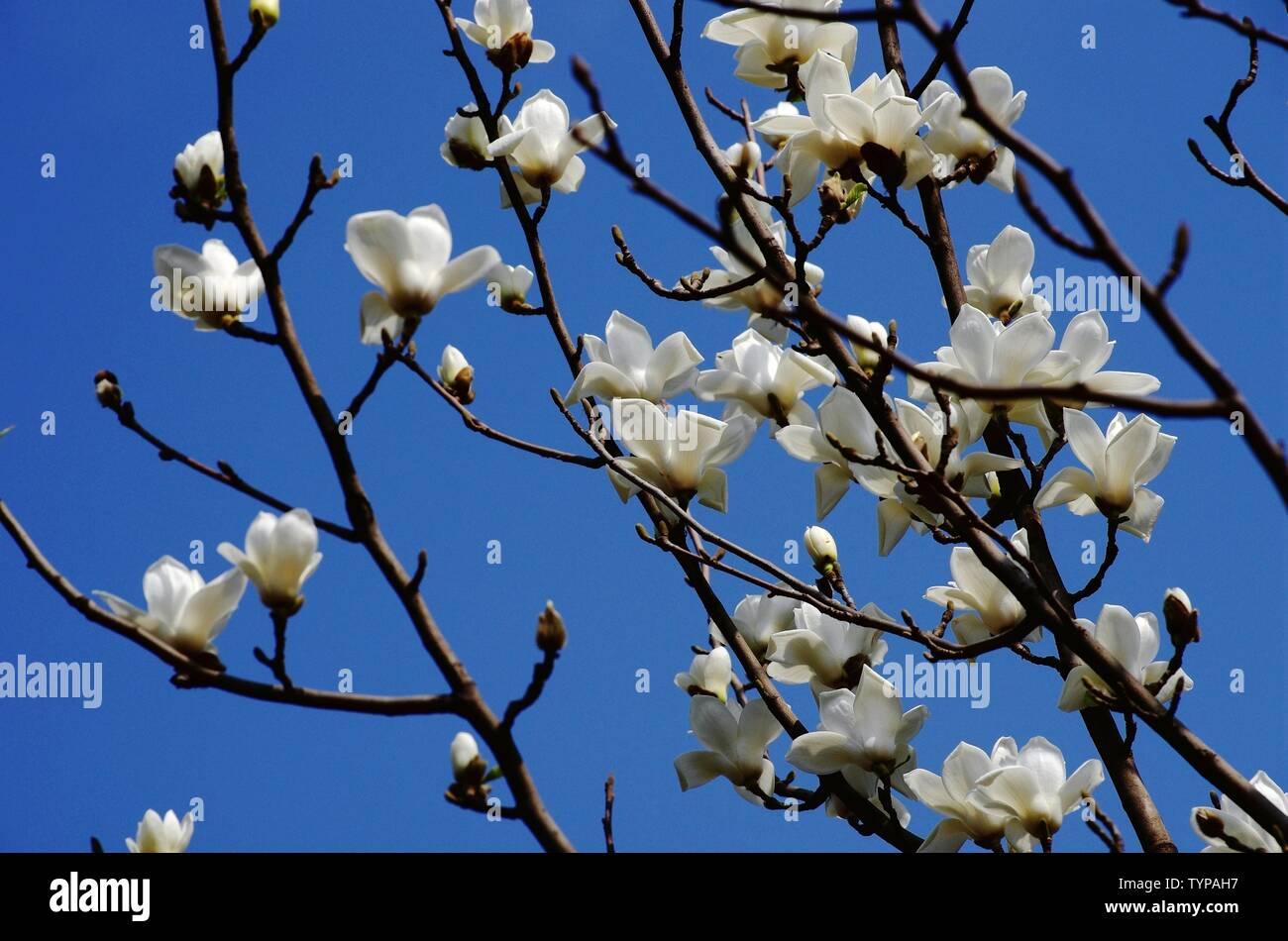 Magnolia magnolia flower Stock Photo