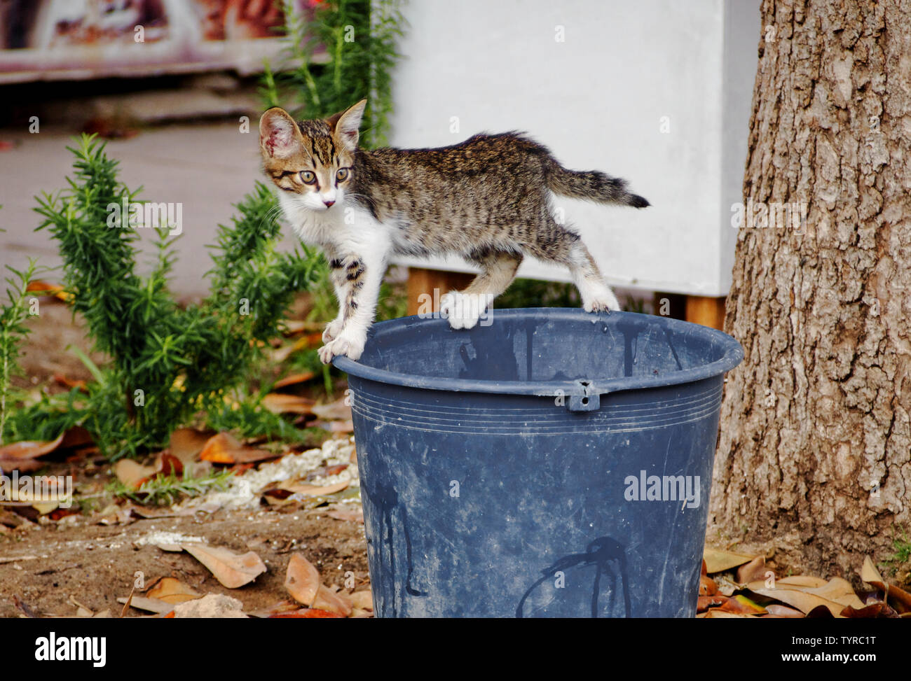 https://c8.alamy.com/comp/TYRC1T/stray-kitten-in-equilibrium-on-a-bucket-TYRC1T.jpg