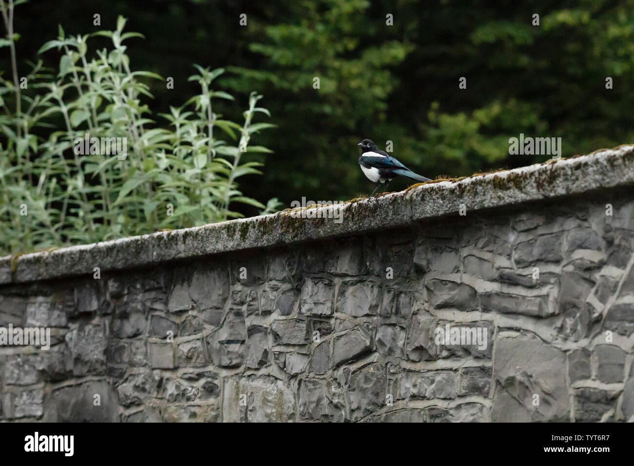 A black and white Eurasian magpie (Pica pica) perched on a stone wall at King's Inns Park in Dublin, Ireland. Stock Photo