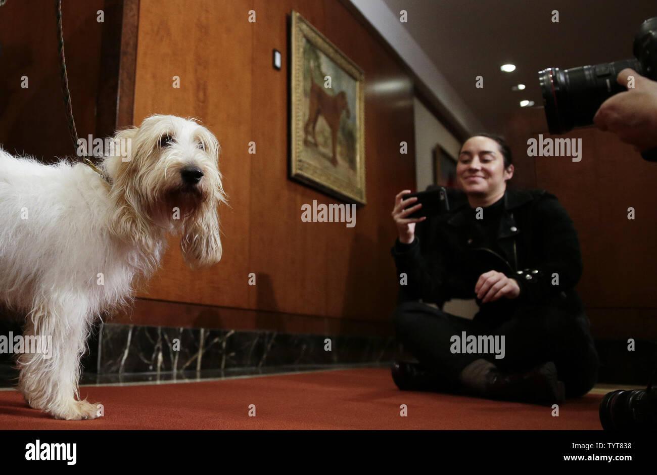 A Grand Basset Griffon Vendeen Is Photographed At A News