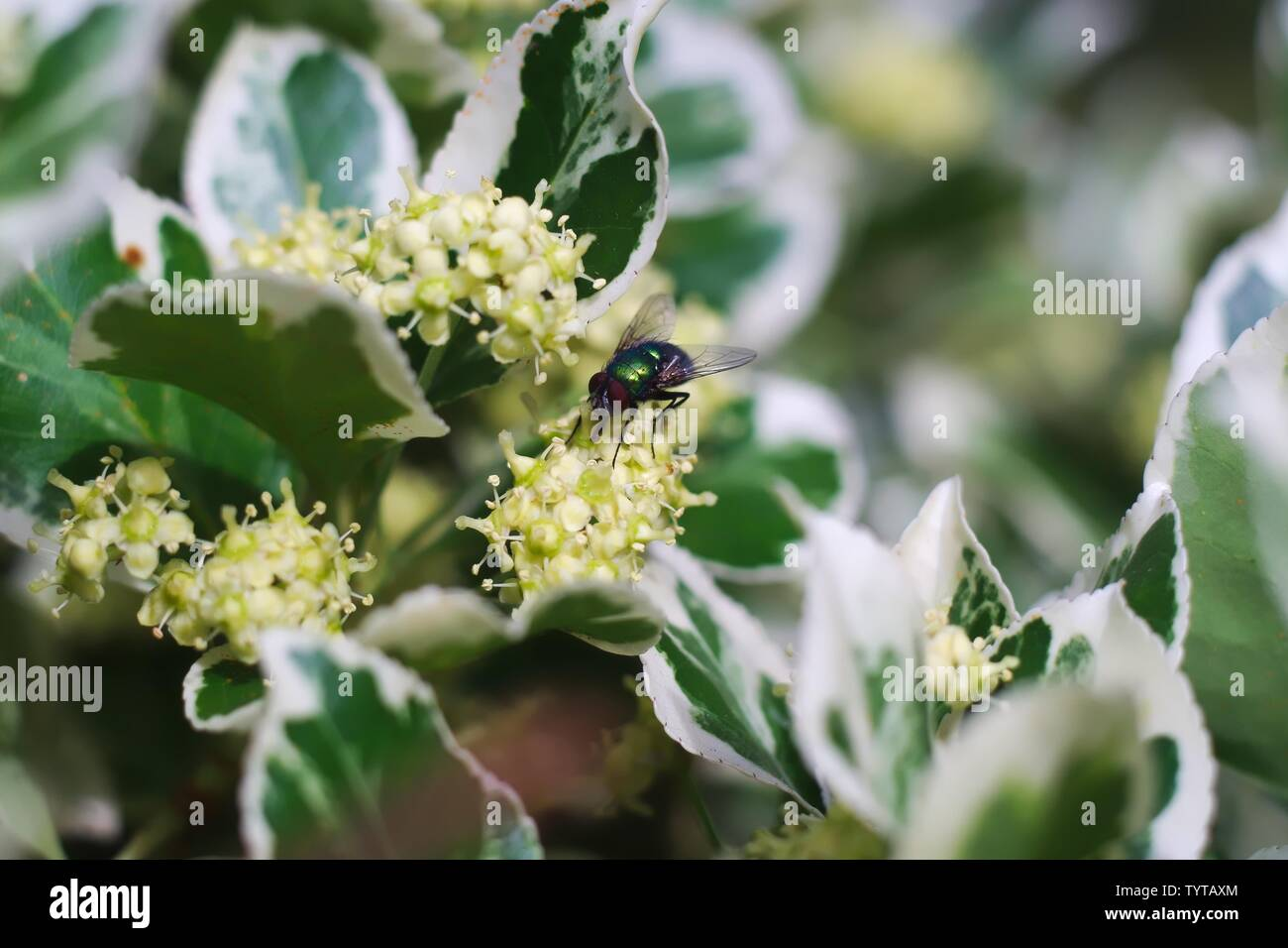 Green Bottle Fly on Japanese Spindle Tree in Maidenhead Berkshire UK - Stock Image