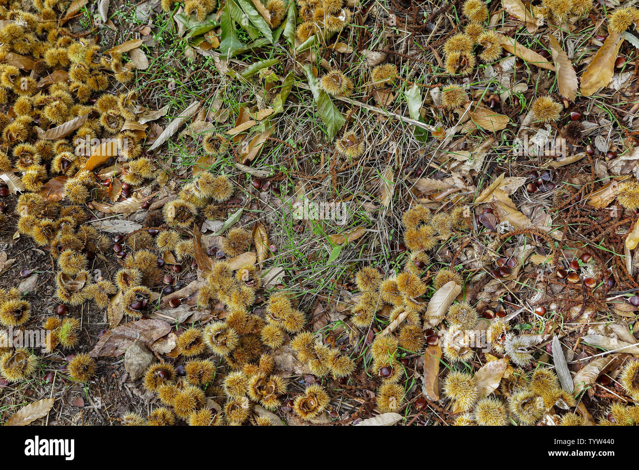 horizontal view of several hedgehogs and chestnuts fallen on the forest floor - Stock Image