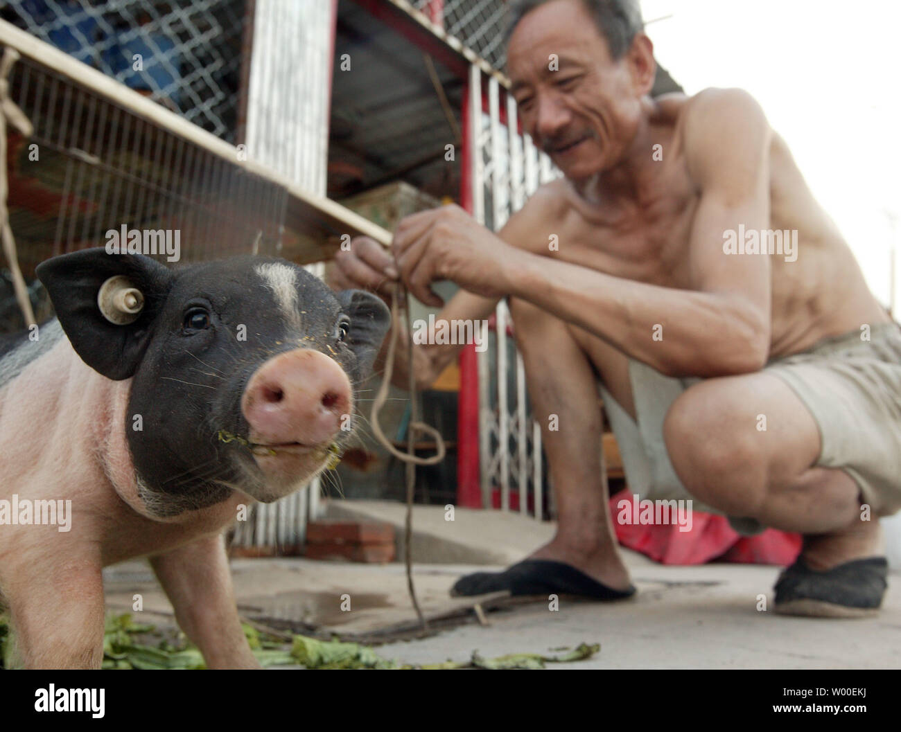 A Chinese Man Talks To His Young Pot Bellied Pig As He
