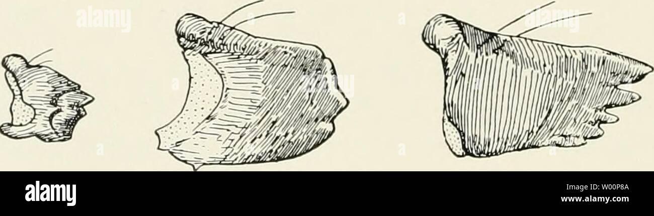 Archive image from page 41 of Die forstinsekten Mitteleuropas Ein lehr-. Die forstinsekten Mitteleuropas. Ein lehr- und handbuch  dieforstinsekten03esch Year: 1914  ABC D Abb. 34. Verschiedene Raupen-Mandibeln. A von Phalera hucep/iala L., B von Ly- mantria monacha L. (jung, Zweihäuter), C von der gleichen (erwachsen), D von Cossus cossus L. Nach Engel. der gleichen Art Unterschiede auf, meist in der Richtung, daß die jüngeren Stadien eine weit deutlichere Zähnelung zeigen als die erwachsenen Raupen z. B. bei der Nonne (Abb. 34B u. C). Die Maxillen (Mittel- oder Unterkiefer) lassen als Stammst - Stock Image