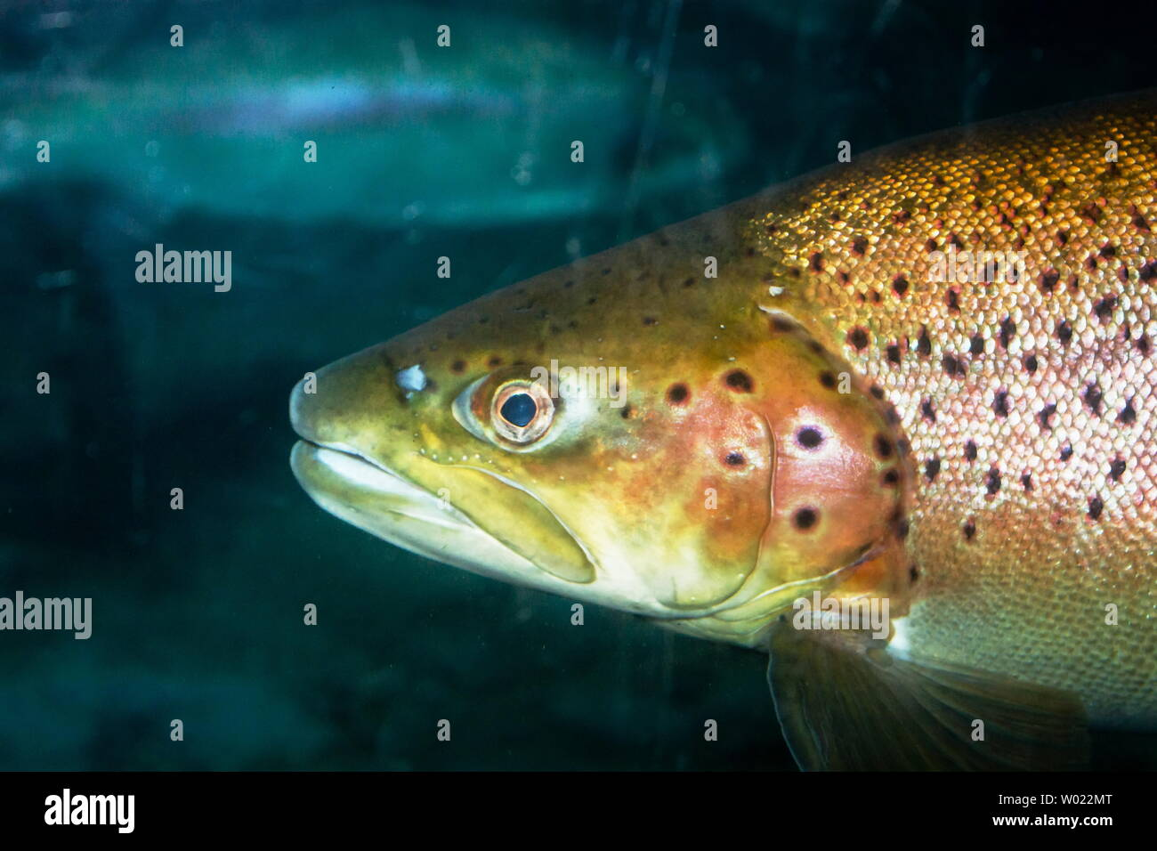 The brown trout (Salmo trutta) is a European species of salmonid fish that has been widely introduced into suitable environments globally. - Stock Image