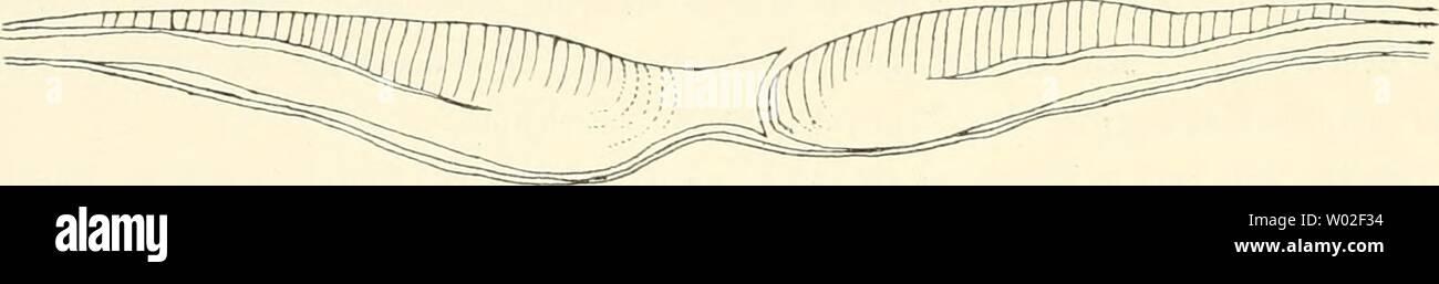 Archive image from page 139 of Die Entwickelungsgeschichte der Kreuzotter (Pelias. Die Entwickelungsgeschichte der Kreuzotter (Pelias berus Merr.)  dieentwickelungs00ball Year: 1903  — b    Textfig-. 29 a—d Ans der Querschnittserie durch einen der Fig. 99 auf Taf. IV ähnlichen Embryo, an welchem aber die Grenzfurchen fehlten. Querschnitte durch die Gegend vor der Vorderlippe (a) und durch die Metastonii-inne (b—d). In dem nächsten Schnitt, welchen Fig. 190 auf Taf. X vorführt, ist aus der einen Zelle ein viereckiges Stück von mehreren Zellen geworden, welches völlig isoliert in der Chordawölbu - Stock Image