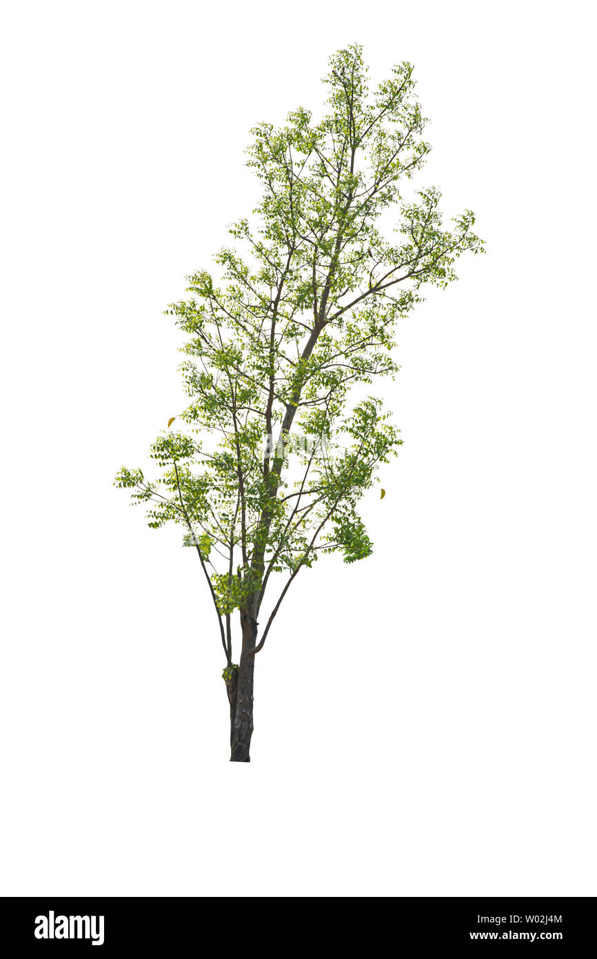 Isolated Bright green tree on a white background with clipping path. - Stock Image