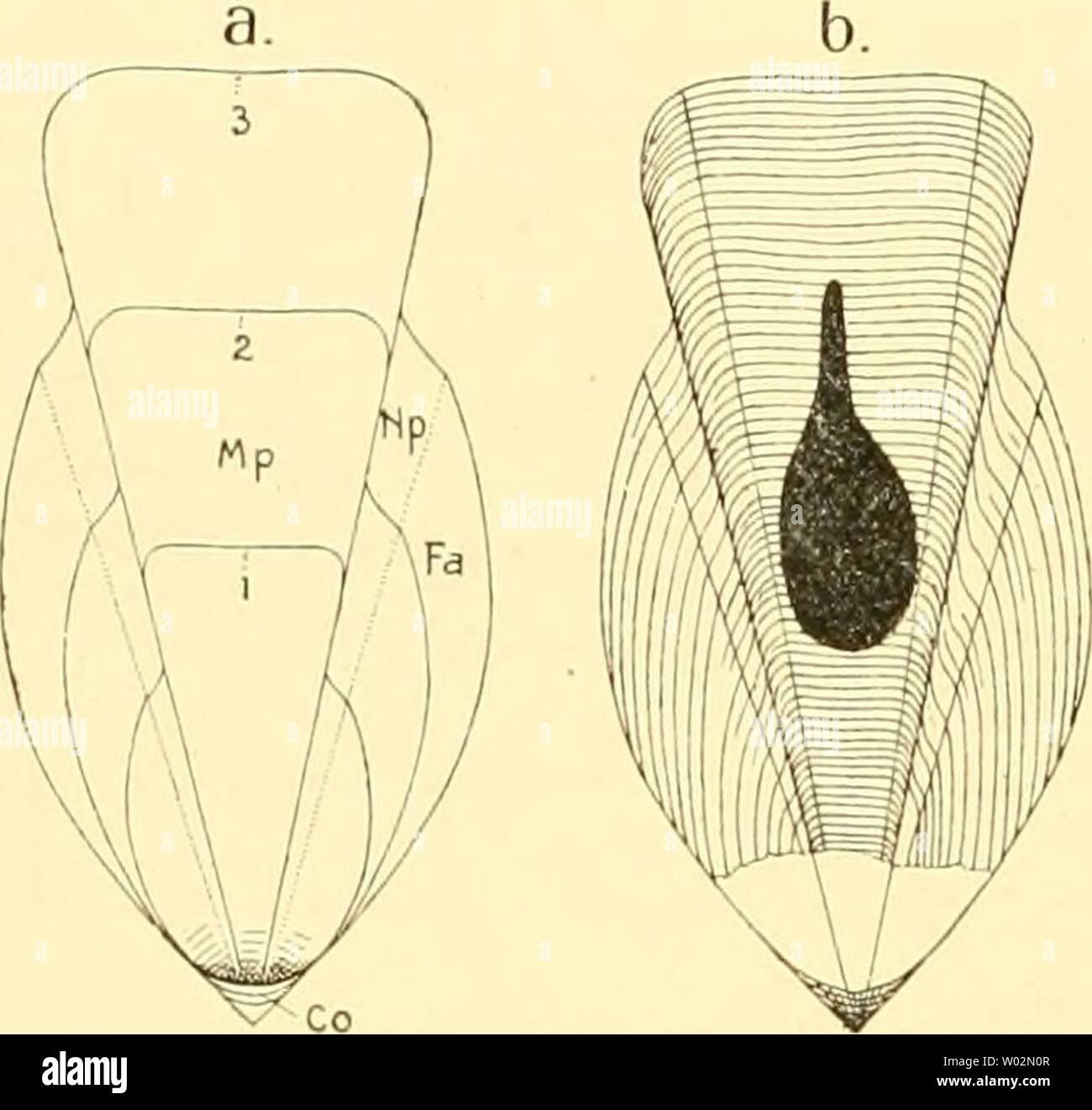 Archive image from page 151 of Die Cephalopoden, I Teil (1921). Die Cephalopoden, I. Teil  diecephalopodeni1111naef Year: 1921  144 IV. KAPITEL: DIE UNTERORDNUNG DER TEUTHOIDEA reichen und von der Mittelplatte durch schmale Felder mit winkelartig rück- und vorwärts gezogenen Streifen getrennt sind. Wie i. mit sehr großem Tintenbeutel, der weit nach hinten liegt. Hierher auch Loliginites coriaceus Quenstedt. Während ilie Prototeuthoidea sich noch ziemlich eng an die Belemnoidea anschließen, treten bereits im Lias auch Schulpe auf, die schrittweise zu den recenten Metateuthoidea hinleiten. Das s - Stock Image