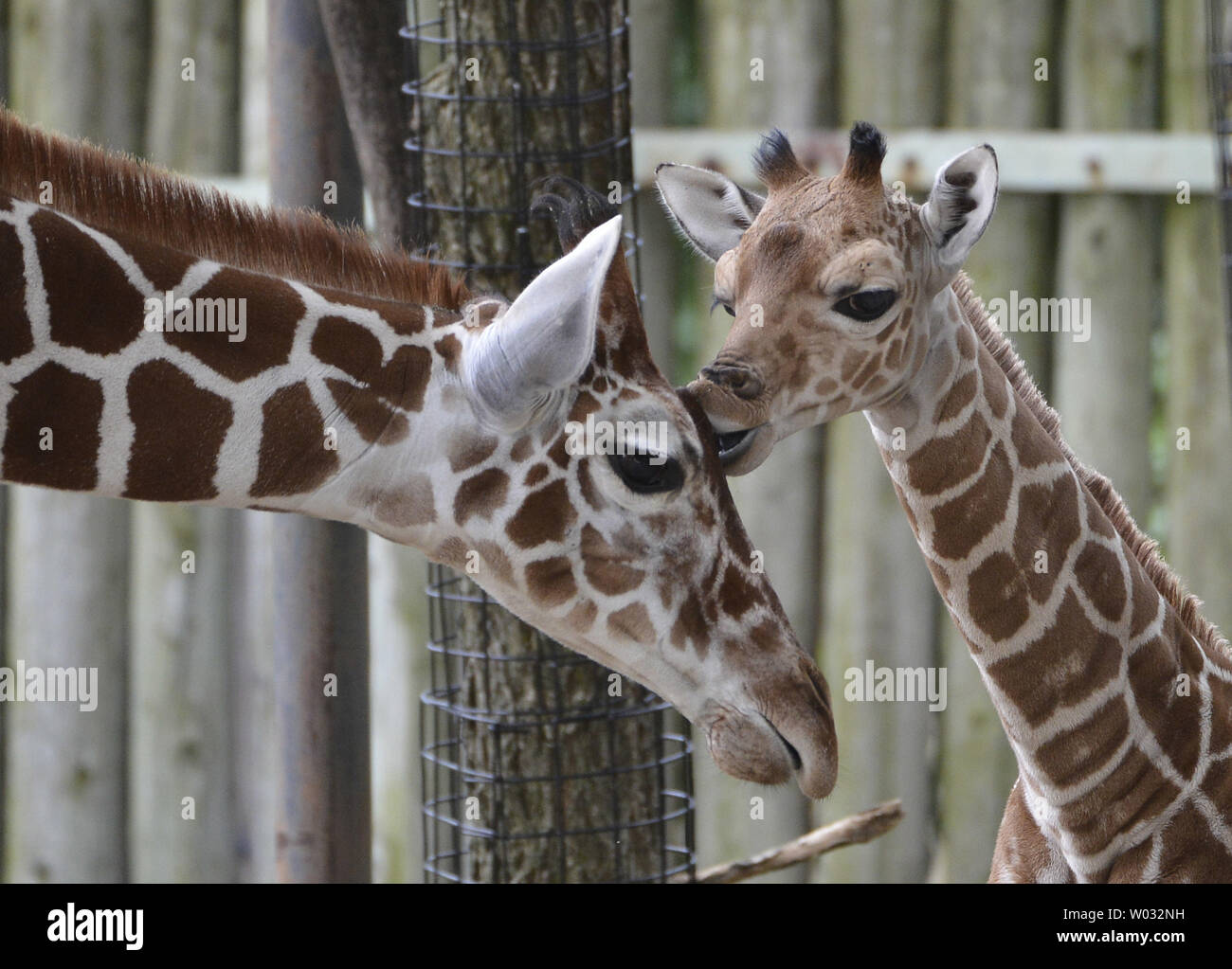 An 11 Day Old Giraffe Calf R Kisses His 7 Month Old Half Brother