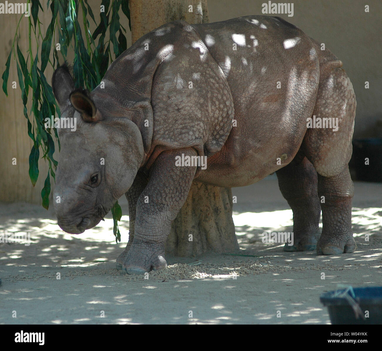 Newly Named Ecko A 14 Week Old Indian Rhino Stands In His Enclosure At The San