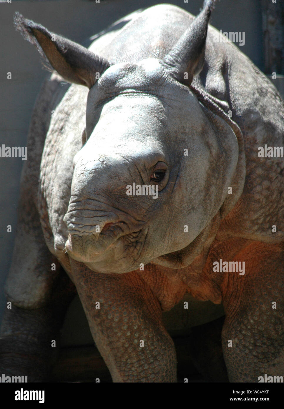 Newly Named Ecko A 14 Week Old Indian Rhino Stands In His Enclosure At The San Diego Wild Animal Park April 14 2005 In San Diego California The 3 Month Old Rhino Born At The
