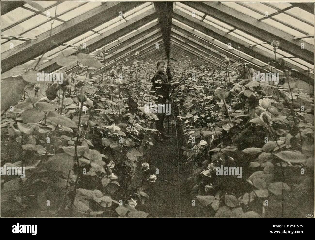 Archive image from page 500 of Die Gartenwelt (1897). Die Gartenwelt  diegartenwelt03berl Year: 1897  in, 39 Die Gartenwelt. 461 troffen, die den Geschmack des Rosenliebhabers durch Farbe, Duft, williges Blühen, edele Form oder durch die Gröfse und allgemeine Wirkung der einzelnen Blumen be- friedigen dürfte. 1894 brachte: Himmdsaiigc (Geschwind), hervorragend schöne, dunkel- rote Schlingrose von kräftigem, aufrechtem Wuchs. Blume grofs. Winterhart. Crimson Rambler. Die Vorzüge dieser allbekannten, herrlichen Kletterrose brauche ich nicht wieder aufs neue zu erwähnen. Jedenfalls dürfte Crimson - Stock Image