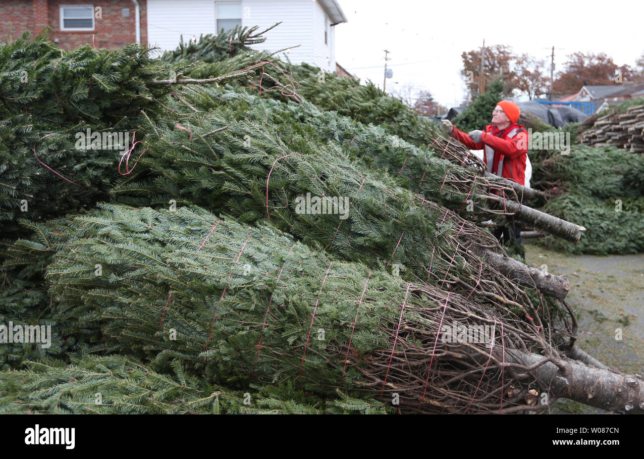 How Long Does It Take A Christmas Tree To Grow.Owner Travis Dillon Counts Christmas Trees As They Are