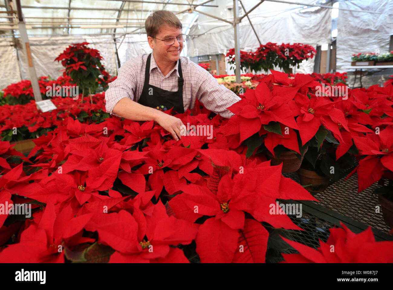 Florist Chuck Knoll Of Walter Knoll Florists Arrange Poinsettia Flowers On Poinsettia Day In St Louis On December 12 2018 Joel Roberts Poinsett Introduced The Poinsettia Plant To The United States From