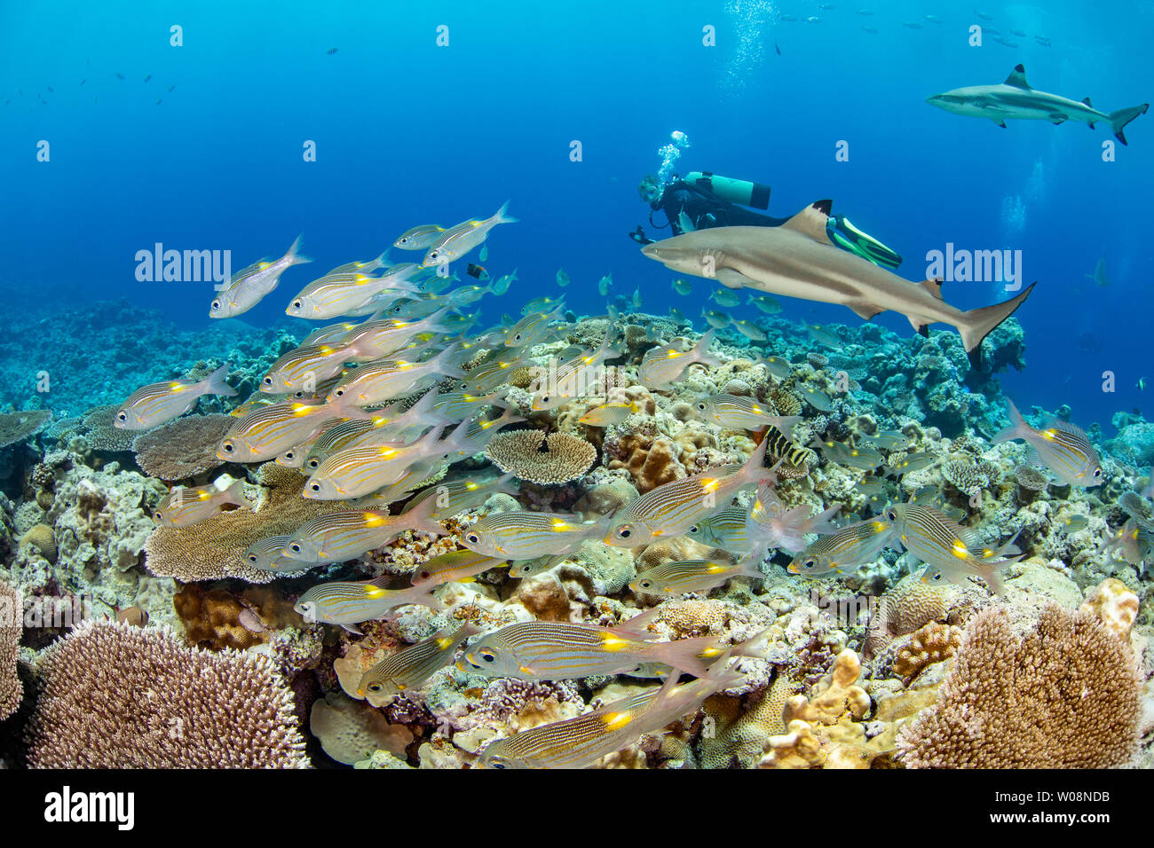 Divers with schooling Gold-spot emperor or bream. Gnathodentex aureolineatus, and blacktip reef sharks, Carcharhinus melanopterus, off the island of Y - Stock Image
