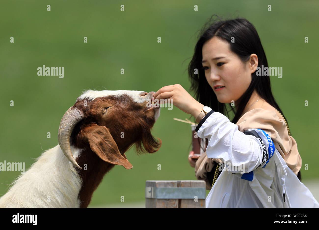 (190627) -- DALIAN, June 27, 2019 (Xinhua) -- A tourist feeds a goat at Sanhuan pastureland in Dalian, northeast China's Liaoning Province, June 26, 2019. (Xinhua/Yao Jianfeng) - Stock Image