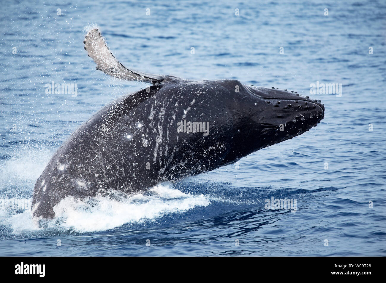 This breaching humpback whale, Megaptera novaeangliae, may be trying to comunicate with other whales nearby, Hawaii. - Stock Image