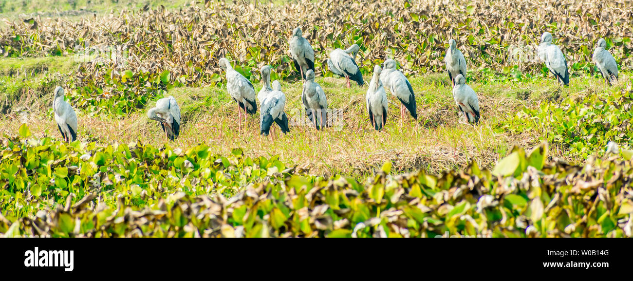 Indian black ibis, species of water bird, spotted in a pond filled with Water Hyacinth. It s a long legged and Black headed wading birds usually feed - Stock Image