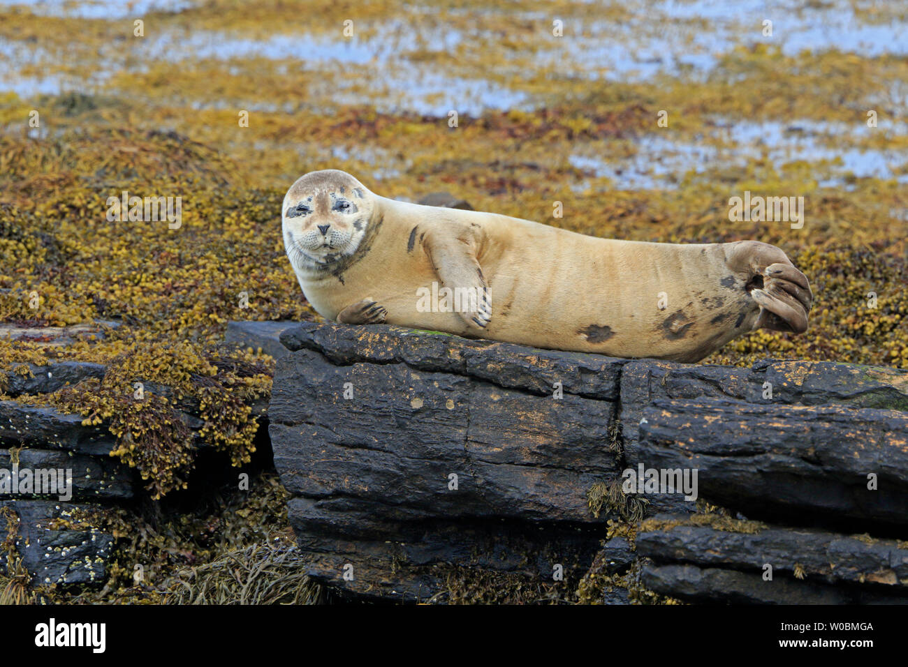 Common Seal basking on seaweed covered rocks Orkney - Stock Image