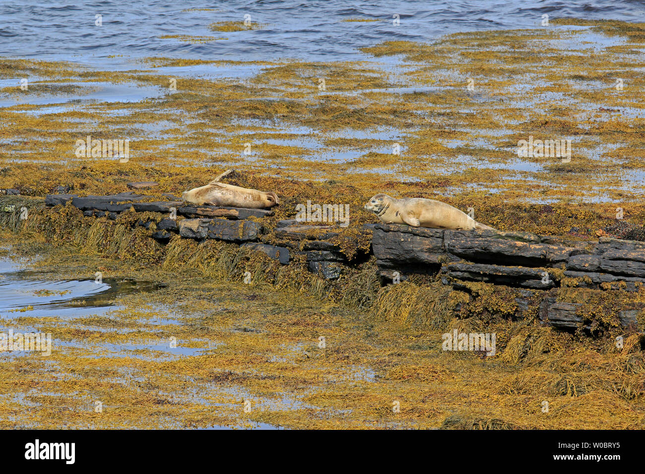 Two Common Seals basking on seaweed covered rocks Orkney - Stock Image