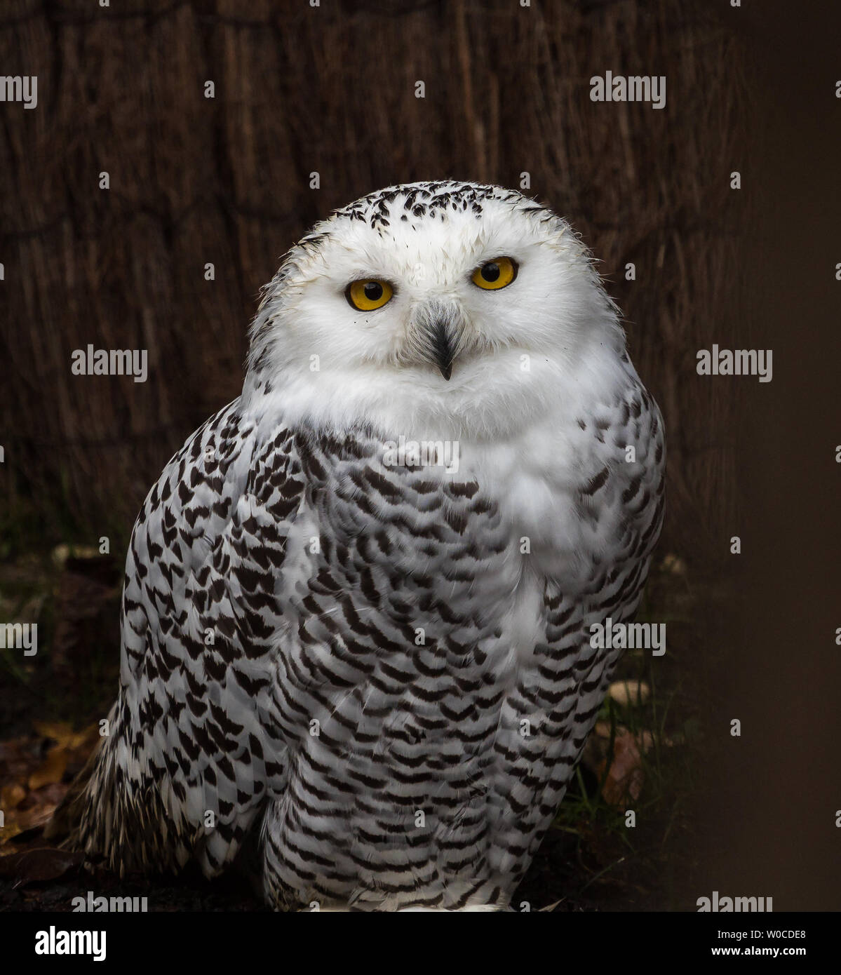 The Snowy Owl, Bubo scandiacus is a large, white owl of the typical owl family. Snowy owls are native to Arctic regions in North America and Eurasia. Stock Photo