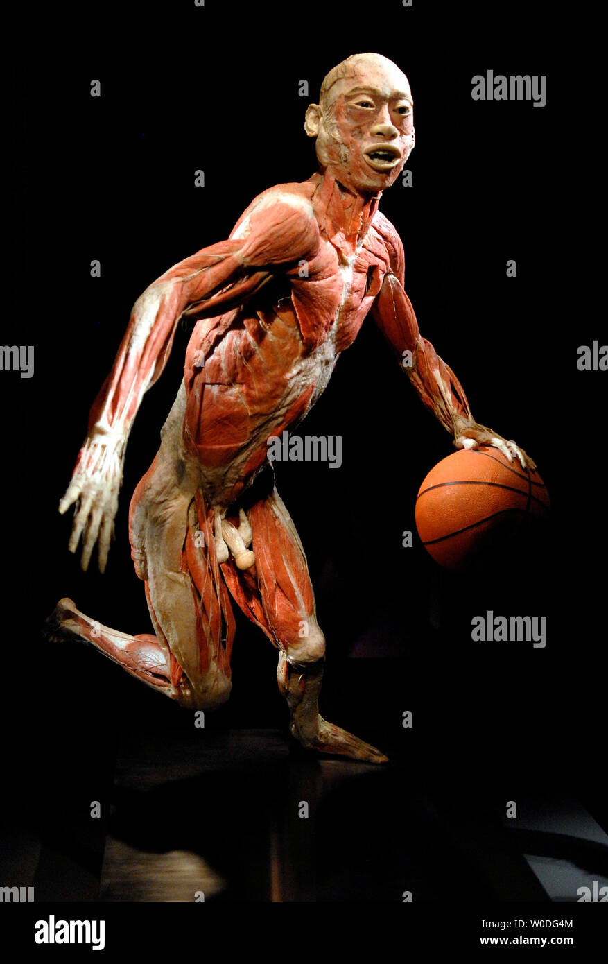 A specimen is seen with a basketball in an action pose in